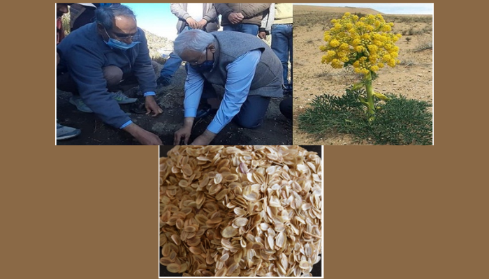 CSIR-IHBT introduces Asafoetida (Heeng) for Cultivation for the First Time in India